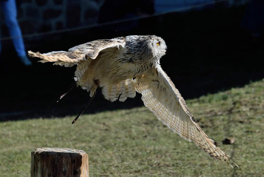 Rapace en vol fête médiévale Leignec 2019