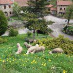 Lse moutons comme tondeuse écologique !